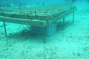 サンゴやシャコガイ棚の下にお酒を設置し海底熟成させるサブリナ)